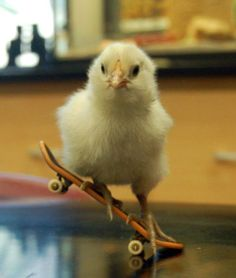 cute sk8ing baby chicken