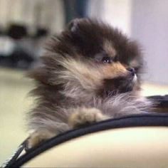 Bts Dogs, Cute Puppies, Dogs And Puppies, Baby Animals, Cute Animals, Bts Bon Voyage, Bts Pictures, Bts Taehyung, Pomeranian