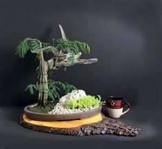 This is a Phoenix graft bonsai tree composition with three live veins of acacia vaiacacia Tamarindilo running up Aruba Divi divi driftwood. The specimens have beautiful puffy bloom and will develop hanging seed pods. The arrangement is presented in a flat oval Oriental container. The