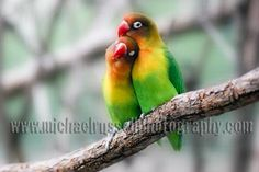 Colorful Bird Photography | LoveBirds, love birds, colorful birds, cuddling, snuggling, animals,