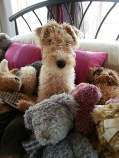 """Wire Fox Terrier - Oreo in his """" happy place"""""""