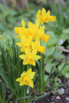 "Daffodils. Photo by Harmony Club Dolls. Come visit our gorgeous 18"" dolls at www.harmonyclubdolls.com"