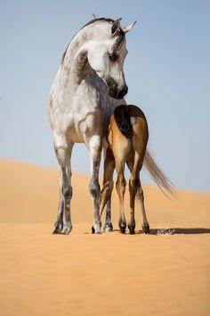 Ajman Stud's Amazing photos... :: Arabian Horses, Stallions, Farms, Arabians, for sale - Arabian Horse Network, www.arabhorse.com