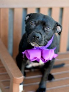SAFE...RETURNED SUPER URGENT !!!!! SAFE 1-19-2016 BOWIE aka EBONY  A1062027 RETURNED 01\/28\/16 FEMALE BLACK \/ WHITE AM PIT BULL TER MIX 2 yrs RETURN  AVAILABLE HOLD RELEASED Reason ATT ANIMAL Intake condition EXAM REQ Intake Date 01\/28\/2016 From NY 11216 DueOut Date 01\/28\/2016