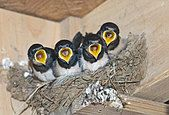 Barn Swallow Hirundo rustica young in nest Cley Norfolk September - Stock Photo