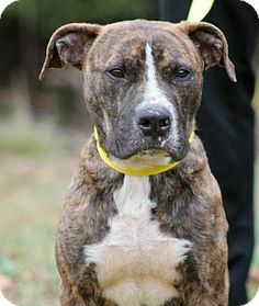 Prattville, AL - American Pit Bull Terrier Mix. Meet Murphy 19707 a Dog for Adoption.