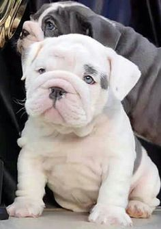 The major breeds of bulldogs are English bulldog, American bulldog, and French bulldog. The bulldog has a broad shoulder which matches with the head. Miniature English Bulldog, English Bulldog Puppies, Blue English Bulldogs, French Bulldogs, Cute Baby Animals, Animals And Pets, Funny Animals, Cute Puppies, Cute Dogs