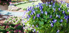 Backyard Garden With Blue Torenia Plants Beautiful Torenia Plants In Your Garden Check more at http://www.wearefound.com/beautiful-torenia-plants-in-your-garden/