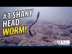 Want to learn the best way to fish a shaky head worm?We'll show you how using the Big Bite Baits Squirrel Tail Worm from this month's Lucky Tackle Box!SPECIAL O Bass Fishing Videos, Bass Fishing Lures, Trout Fishing, Fishing Uk, Fishing Girls, Kayak Fishing, Fishing Stuff, Fishing Knots, Fishing Tackle