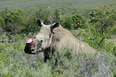 Sanparks confirms sighting of rhino with no horn - The New Age Online