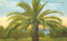 Premium Giclee Print: Date Palm Hawaii by Pacifica Island Art : Digital Printer, Vintage Hawaiian, Vintage Postcards, Trees To Plant, Palm Trees, Giclee Print, Printing Process, Art Posters, Art Prints