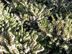 Struiken en vaste planten die bloeien in de winter | De Tuinen van Appeltern Plants, Plant, Planets