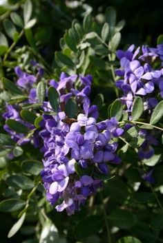 Cultivating Paradise: Texas Mountain Laurel (Mescal Bean) [more growing info here: http://www.plantanswers.com/texas_mountain_laurel.htm ]