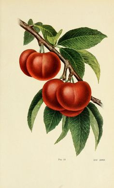 The Pond Plum. Plate from 'Fruit Culture.' Published 1912 by International Textbook Co. in Scranton, Pa ar...