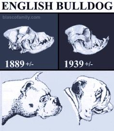 """Typical dog shows breeding for the """"betterment"""" of the breed."""