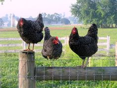 hottest-farmyard-chicks-weird-sex-act-names