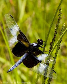 Widow Skimmer Dragonfly (Male)