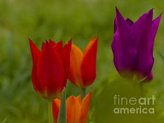 Tulips, Fine Art America, Poster Prints, Posters, Holiday, Christmas, Instagram Images, Rose, Garden