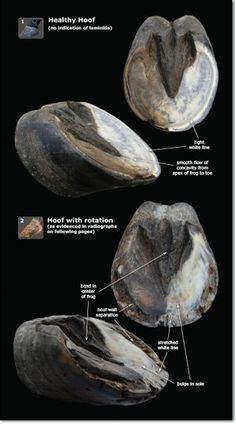 An awesome look inside of the hoof, with a focus on laminitis. http://www.anatomy-of-the-equine.com/exploring-laminitis.html