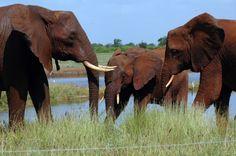 Kenya. Elephant's family