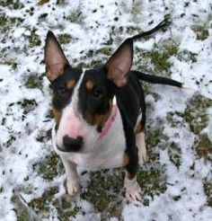 Trina is an adoptable Bull Terrier Dog in Mohnton, PA. My name is Trina and I am a 5-6 year-old spayed female Bull Terrier. I love to go hiking and running! I am crate trained and house trained! Even ...