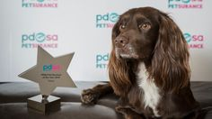 Named Pet Survivor of the Year:  A dog has made an extraordinary recovery after falling down a 60ft dam and has been awarded Pet Survivor of the Year.    The 2 year old cocker spaniel, Darcy, plunged down the concrete dam while walking with her owners in