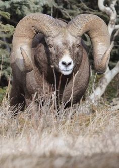 World record bighorn sheep captured researcher's… Beautiful Creatures, Animals Beautiful, Animals And Pets, Cute Animals, Big Horn Sheep, Hunting Pictures, Animal Games, Animal Heads, Woodland Creatures