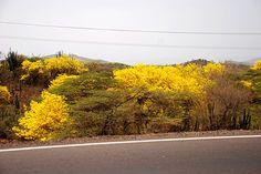 Plantas de Venezuela: Araguaneyes by Jose Jaime Araujo, via Flickr.