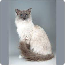 Ragdoll - looks just like Mikey's cat!