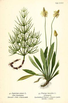 ACKER-SCHACHTELHALM SPITZWEGERICH Botanik Farbdruck Antiker Druck Antique Print