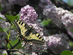 Pózolás közben. Dandelion, Flowers, Plants, Dandelions, Plant, Taraxacum Officinale, Royal Icing Flowers, Flower, Florals