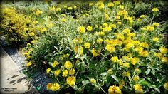 Dwarf Jerusalem Sage Flowering