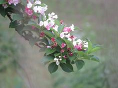 """The scientific name is """"Weigela coraeensis"""" which is called """"hakone-utsugi"""" in Japanese."""