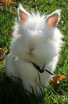 * * ANGORA BUNNY: There's no reason to not have this rabbit's eye fur trimmed so he can see. A vet could best do it so not to have the bunny suddenly move and incur an eye injury. Funny Bunnies, Baby Bunnies, Cute Bunny, Bunny Rabbits, Cutest Bunnies, White Bunnies, Grey Bunny, Animals And Pets, Baby Animals