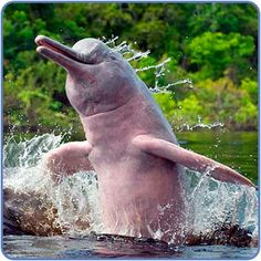 The pink Amazon river dolphin, alternately Bufeo, Bufeo Colorado (pink), Boto, is a freshwater river dolphin endemic to the Orinoco, Amazon and Araguaia/Tocantins River systems of Brazil, Bolivia, Peru, Ecuador, Colombia and Venezuela. It is known as the Encantado, or Shapeshifter to the natives.