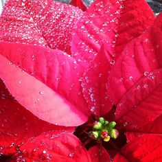 Poinsettia at our Wholesaler.  They grow some amazing products, helping us and our clients look GREAT!