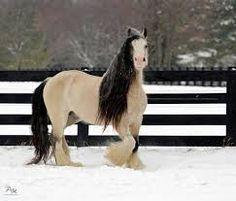 Résultats de recherche d'images pour «cheval champagne pommelé»