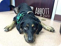Alvin, TX - Rottweiler/Labrador Retriever Mix. Meet Abbott, a puppy for adoption. http://www.adoptapet.com/pet/16073436-alvin-texas-rottweiler-mix