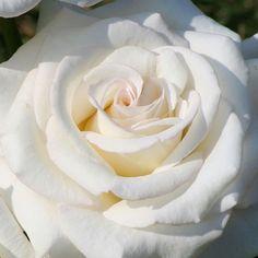Secret's Out rose