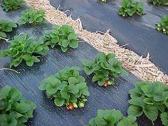 Plantação de morangos
