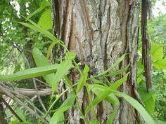 Survival Skills: 14 Wild Medicinal Plants   Outdoor Life