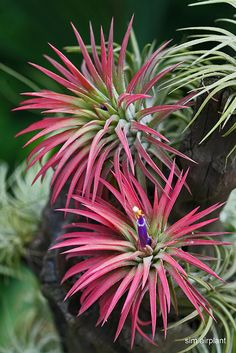 tillandsia a.k.a. air plants are popping up all over the place, they are some of my favorite plants at home and are super low maintenance