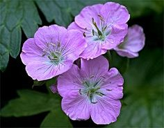 The wild geranium (Geranium maculatum) is a native of our woodland forests, and one of the easiest species to grow in a shade garden. Its 5-petaled pink flowers, produced on stalks hovering over the leaves, grace the garden in May. Wild geranium produces seeds freely, and new plants are always a surprise!