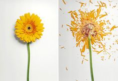 Creative Flowers, Soaked, Liquid, Nitrogen, and Shatter image ideas & inspiration on Designspiration Object Photography, Floral Photography, Creative Photography, Amazing Photography, Nature Photography, Fotografia Floral, Shatter Image, Growth And Decay, Liquid Nitrogen