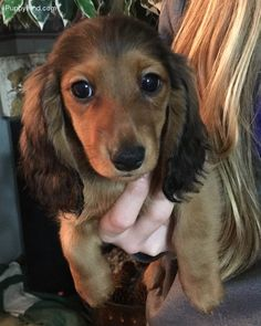 Dachshund Pictures (51opkw32oqr)