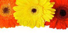red-orange-and-yellow-gerbera-flowers