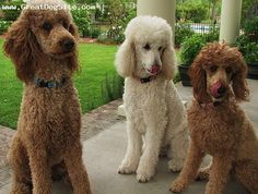 My next dog will be a Standard Poodle. I love the cut of the one on the left.