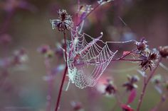 Young Autumn XII… by *BabyJoan, dreamy, ethereal, spider web, pink, burgundy, dew drops, water droplets, flowers