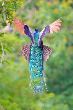 flying-peacock-9