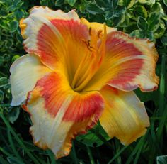 Orange and Red Daylily